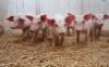 Informational Meetings for: Novel Swine Diseases