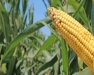 Finger Lakes - Corn Congress, Waterloo