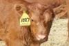 Marketing Opportunity for Feeder Calves - Orleans