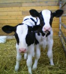 Calf Congress 2013 -