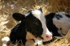 ***POSTPONED*** Calf Care Meeting w/ Purina (Spanish & English)