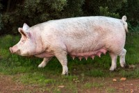 Swine Breeding Stock Care - Nutrition