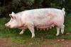 Swine Breeding Stock Care - Nutrition