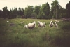 Sheep and Goat Pasture and Grazing Management