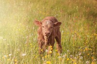 BQA Recertification Webinar: Pre-Weaning Calf Care