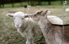 Virtual: Sheep & Goat Production 101