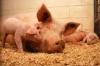 Virtual: Swine Production 101