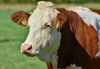 Beef Quality Assurance Training Hosted by CCE Chautauqua