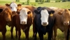 Virtual: Beef Cattle Nutrition 101