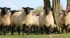 Sheep Farm Evolution