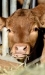 Beef Cattle Nutrition 101