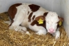Critical Calf Care: Urgent Decision Making for Dairy Calf Health