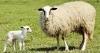 Basic Lambing Skills Webinar