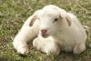 OSU Extension Small Ruminant Webinar Series - Lambing and Kidding