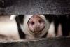Raising Pigs for Market