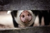 Beginning Livestock Series: Swine (Pigs)
