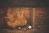 Chicken Health Symposium