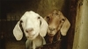 Getting Started with Sheep and Goats