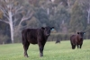 Stocker Cattle: Tips to Entering and Navigating the