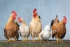 Flock Talks: Brooding and Rearing Basics: Backyard Laying Hens for Beginners