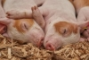 Developing Your Small Scale Swine Enterprise
