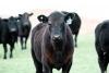 Cornell Livestock Program Work Team Webinar on Beef Finishing Programs