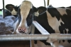 Summer Dairy Research Update: Heifer Reproduction & Hypocalcemia