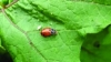 Integrated Pest Management in High Tunnels