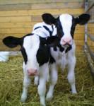 Calf Congress 2013 -