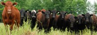 Cattle Handling Systems Importance for BQA