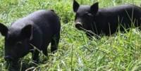 Pastured Pork Workshop