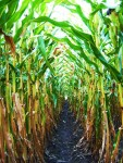 2019 Corn Silage Pre-Harvest Workshop - Penn Yan