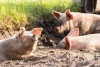 Raising Pigs: From Piglet to Pork Chop