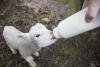 Bottle Lambs & Kids