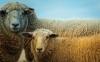 Sheep Genetics USA: Improving Genetic Tools to Enhance Profitability