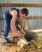 Sheep Shearing Workshop