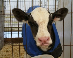 Calf Care for Variable Months
