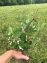 Spreading Dogbane - A problematic weed in SWNY