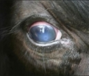 Managing Pinkeye in Cattle