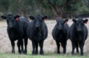 Management Practices to Add Value to Beef Calves