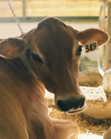 Updating cows instead of facilities?