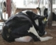 Maximizing Performance through Cow Comfort