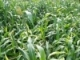Is Double Cropping BMR Sorghum followed by a Winter Grain a Viable System?