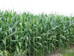 Pricing Corn Silage - Fall 2013