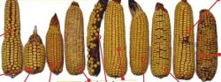 Abnormal Corn Ears Poster