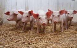 PEDv: What does it mean for NY's Swine Producers?