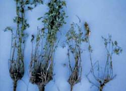 Evaluating Alfalfa for Winter Injury