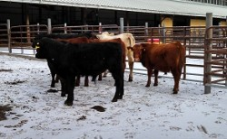 2014 NY All Forage Fed Bull Test