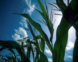 NY Hybrid Corn Grain Performance Trials 2012 - 2010