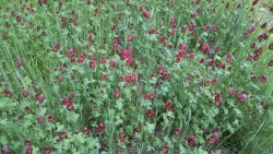Cover Crop Options in 2015